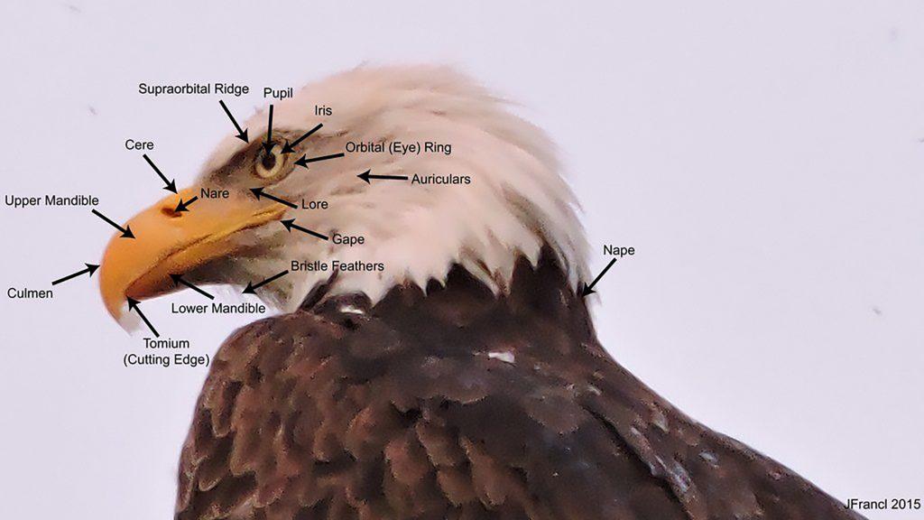 Labeled Bald Eagle Head