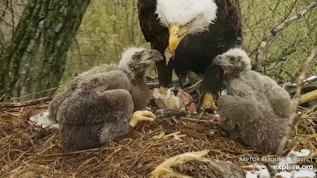 Nestling Eaglets in Thermal Down