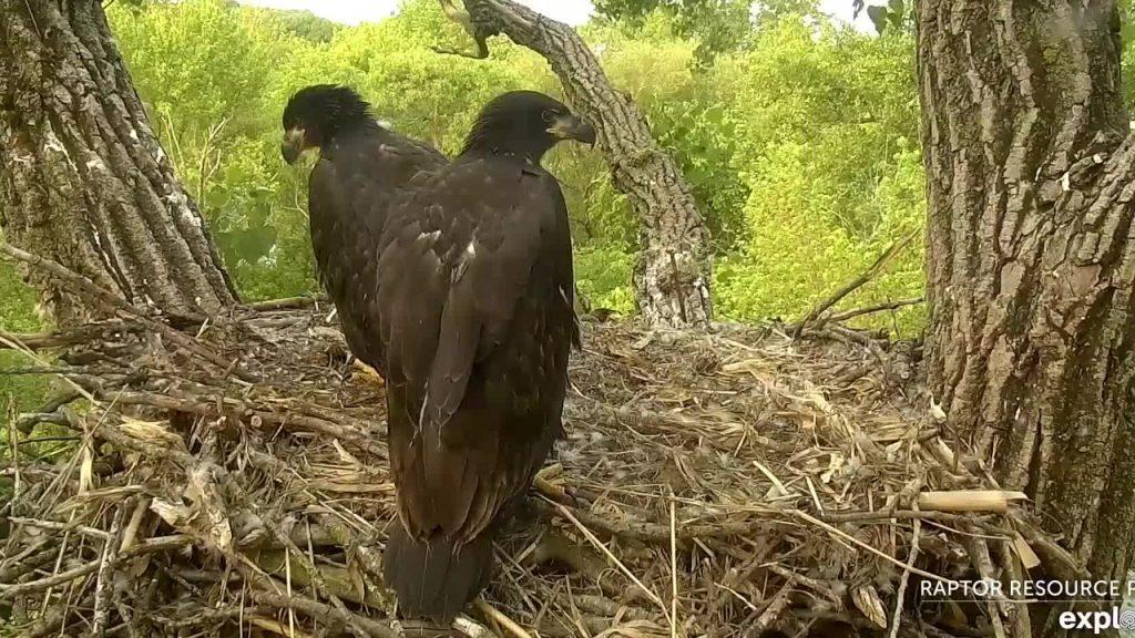Nestling Eaglets Close to Fledge