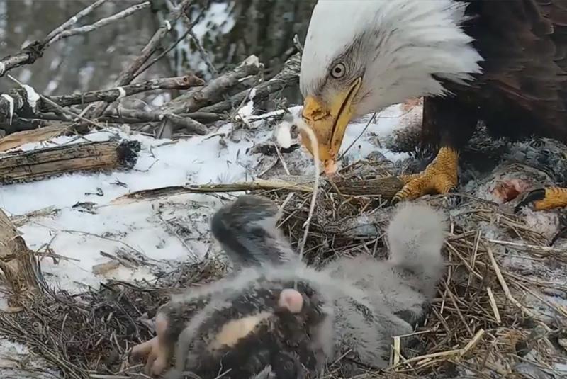 An eaglet shooting poop