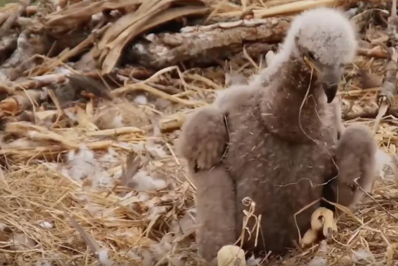 Eaglet Sneeze!