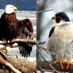 Bald Eagle vs. Peregrine Falcon