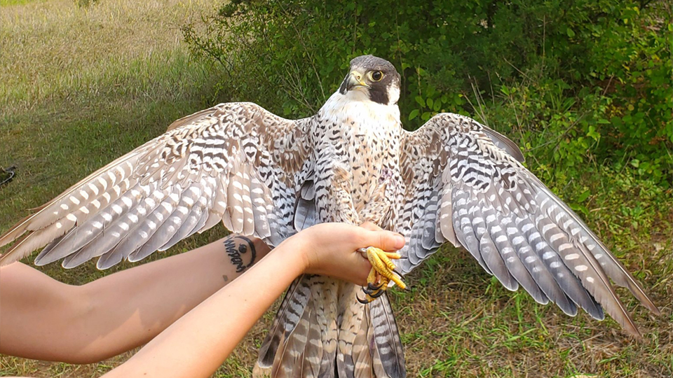 How old is this peregrine falcon?