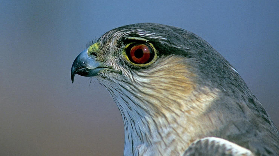 Image: Cooper's Hawk or Sharp-shinned Hawk?