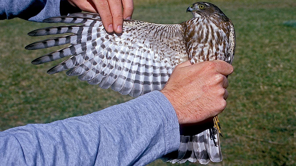 Image: How old is this sharp-shinned hawk?