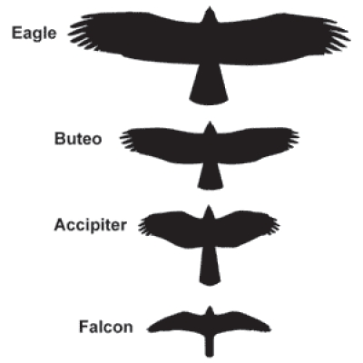 Silhouettes of North American raptor types